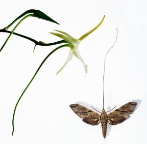 Agraceum - Xanthopan