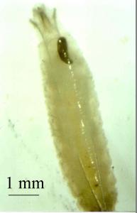 larve avec capsule