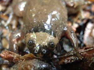 Xenopus parafraseri (Photo © N. Pollet,CNRS)